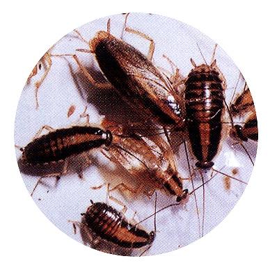 チャバネ ゴキブリ