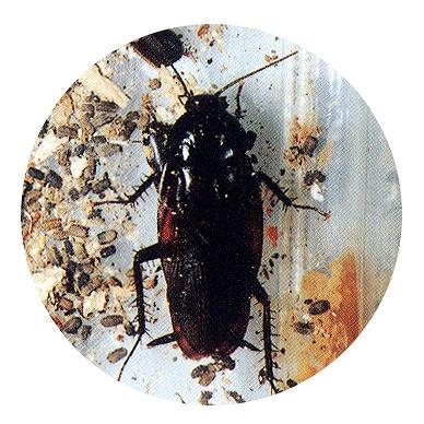 クロ ゴキブリ