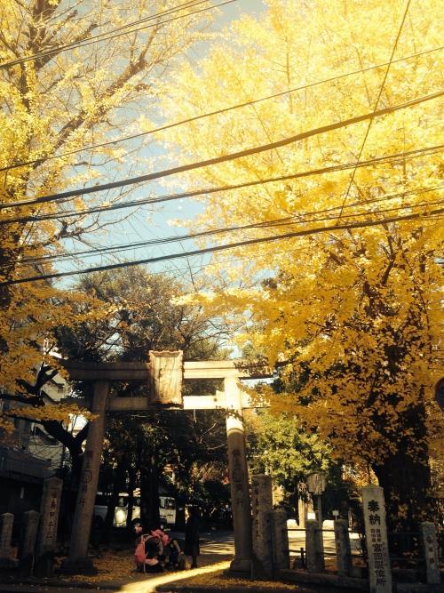 富士神社のイチョウが見頃です!
