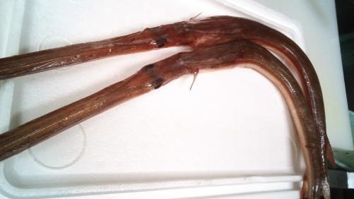 珍しい魚。ヤガラ。白身の魚で淡白な味わいです!
