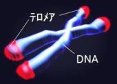 寿命を延ばす酵素か? テロメアとテロメラーゼについて。