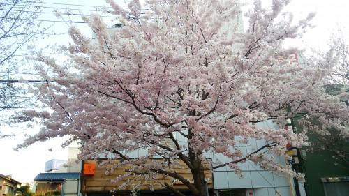 満開の桜とつるやの蕾