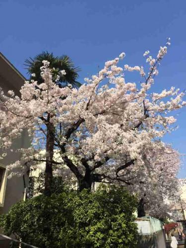 桜が見頃ですね~