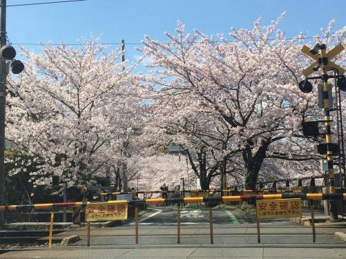 桜、最高〜‼︎