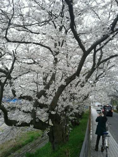 yosaで桜色の頬に