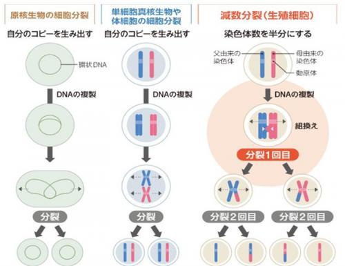 新陳代謝と細胞の分裂について