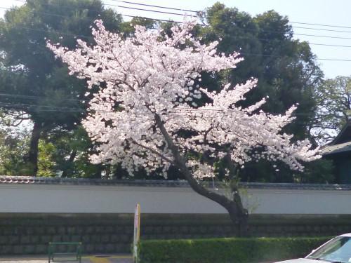 もう春ですね~(*´∨`* )ノ