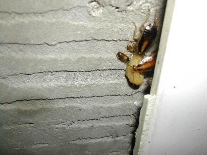 業務用ベイト剤を食べているチャバネゴキブリ