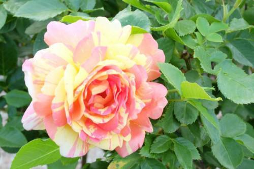 今年一番最初に咲いたバラは???