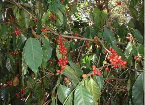 サスティナブルコーヒー《環境保護やより質の高い生産へ》