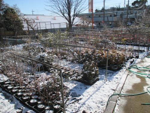 雪景色からの~植木・苗木の販売・通販!