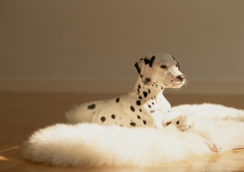 犬、猫のアトピー性皮膚炎の原因になる風邪について