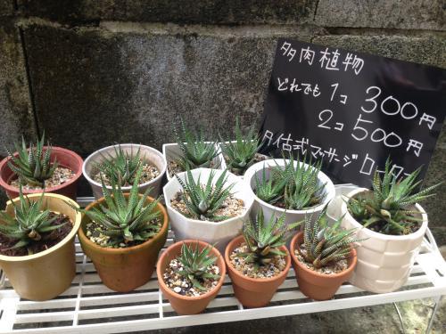 観葉植物売っています!