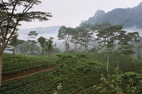 【紅茶の産地《ウバ》】