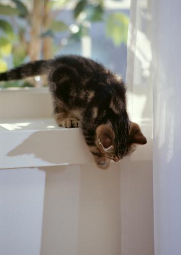 猫の肝臓の病気、リンパ球性胆管炎について