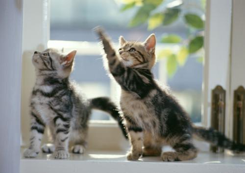 猫の肝臓の病気のリンパ球性胆管炎の診断の話