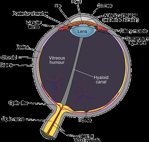 シーズーによくみられる目の病気の網膜剥離