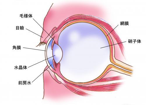 柴犬でよくみられる目の病気の緑内障の治療について