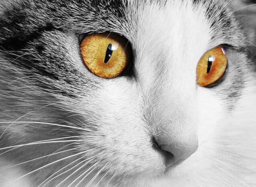 猫でよくみられる目の病気の高血圧性網膜症の治療
