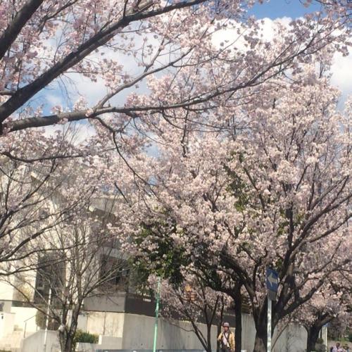 リフォーム名古屋  桜8分咲き
