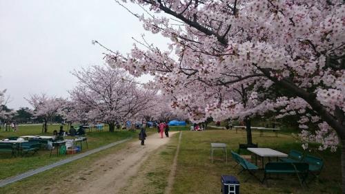 舞鶴公園 桜満開!