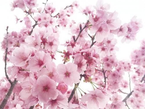 桜、さくら、サクラ、、