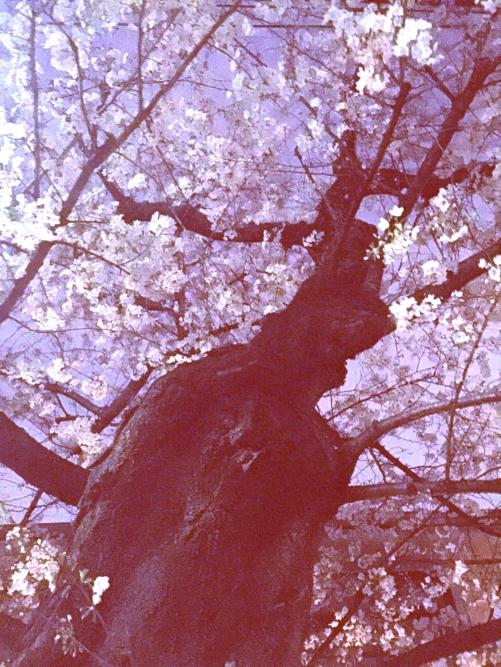 桜満開!♡(≧∇≦)♡