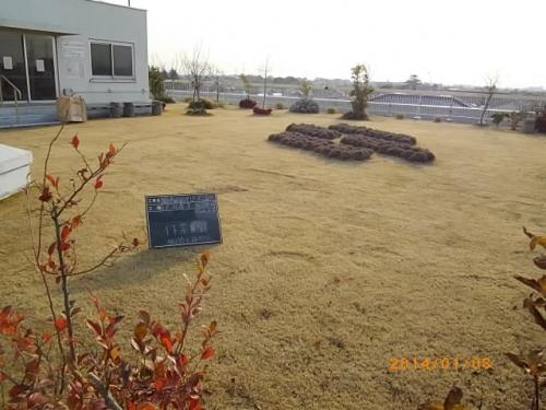 安行四季彩マット現場から見える埼玉植物園のヒマラヤスギ!