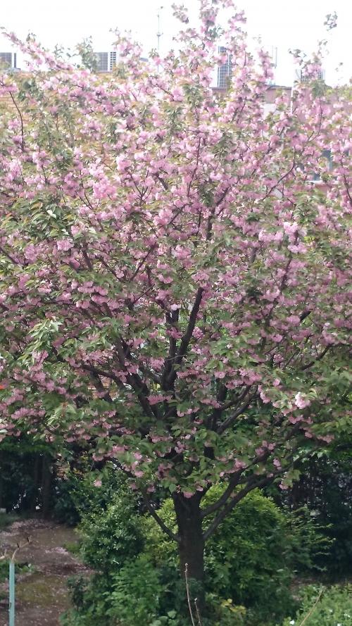 桜のあとに