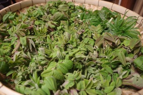 山菜の紹介「クルミの新芽」