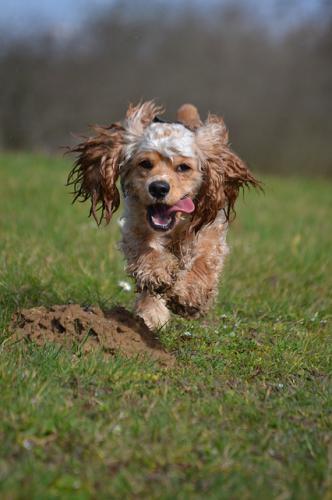 犬、猫の耳垢腺、アポクリン腺の病気による耳炎