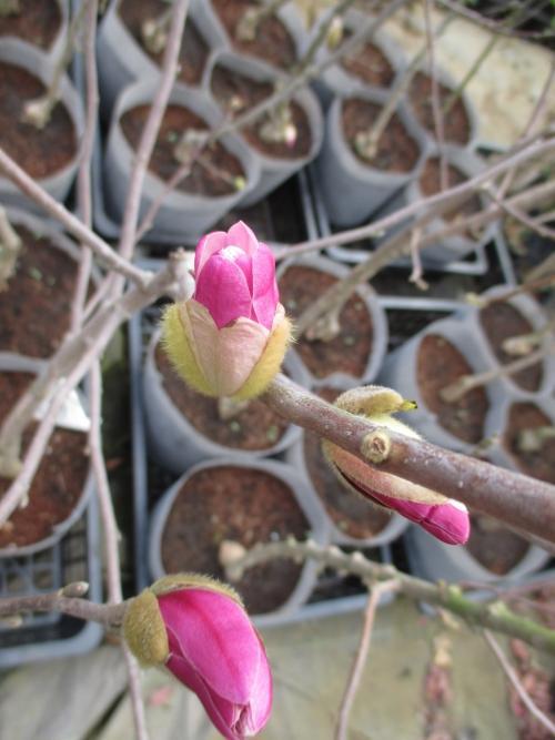 姫コブシ!開花の圃場より植木苗木の販売!