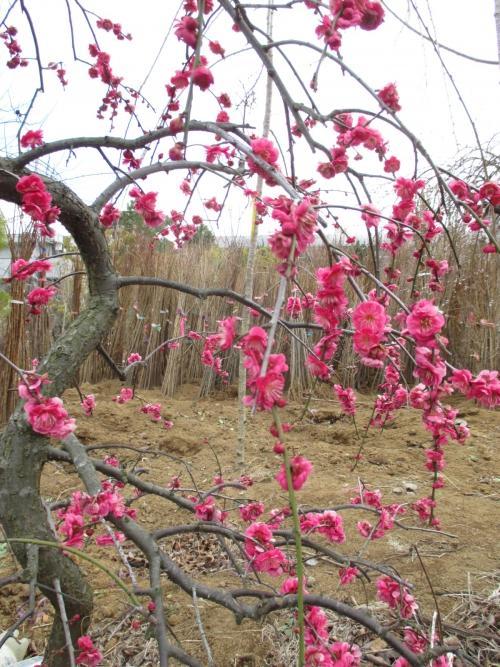 たまには(笑)植木屋さんな景色!桜の販売準備万端です!