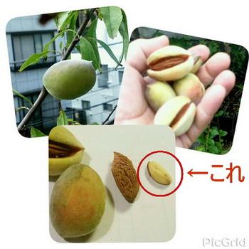 アーモンドの実を収穫しました。ベランダの鉢栽培です。