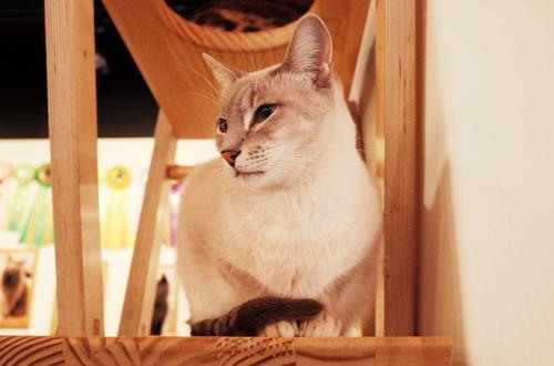 猫の特発性膀胱炎と猫同士のストレス