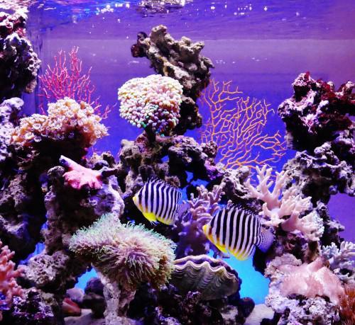 美しい熱帯魚と色鮮やかなサンゴ水槽です。