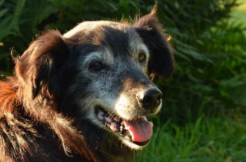 犬の中、高齢の尿失禁問題