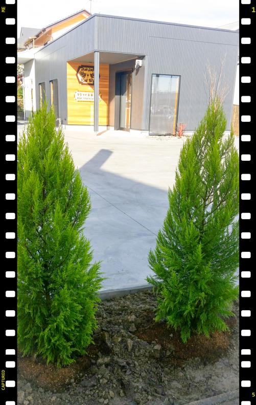 ゴールドクレストの木を植えました