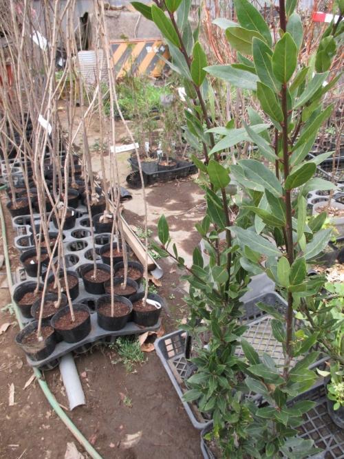 月桂樹!植木の郷、安行より、植木苗木の販売!