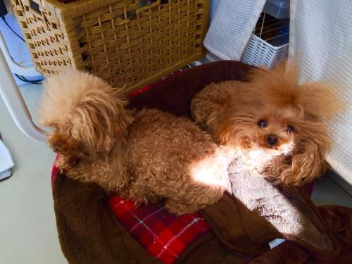 トイプードル子犬&ブリーダー情報in高崎店