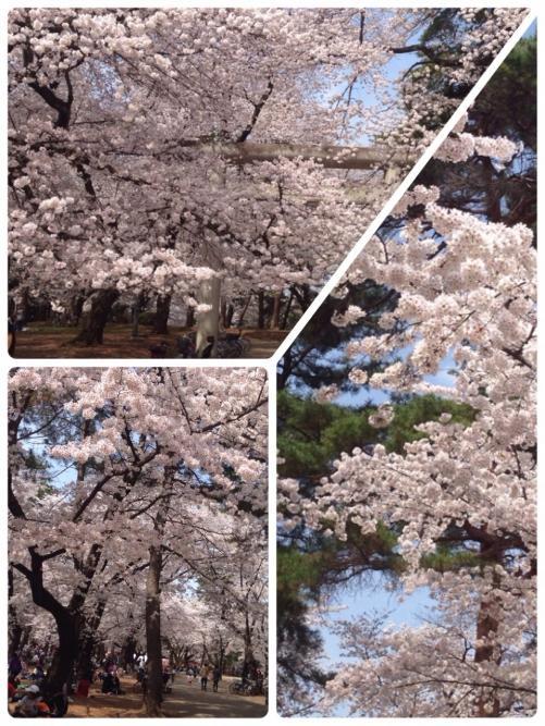 さいたま市大宮公園の桜が満開です