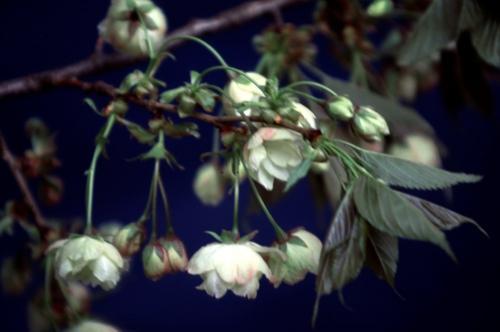 黄色い桜!?鬱金(ウコン)桜!桜の植木や苗木の販売!