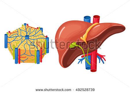 肝臓について語ります