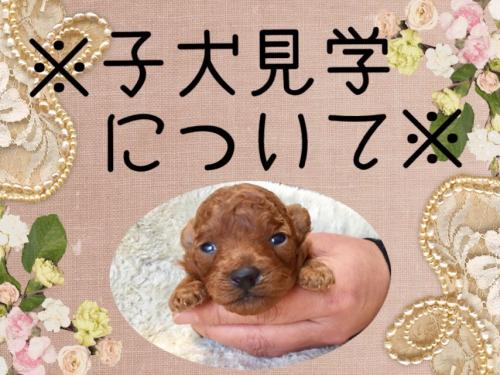 トイプードル子犬&ブリーダーin群馬高崎店