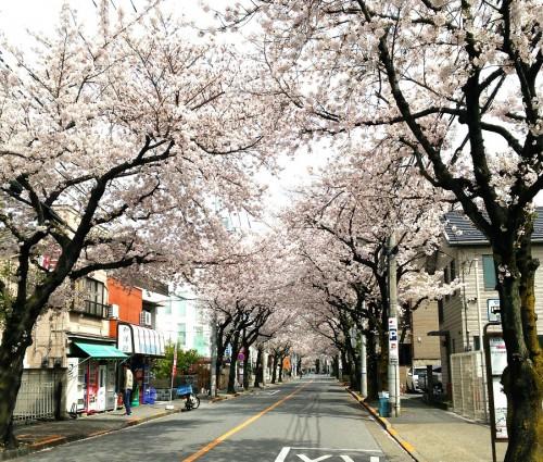 雨ですね!! 桜が・・