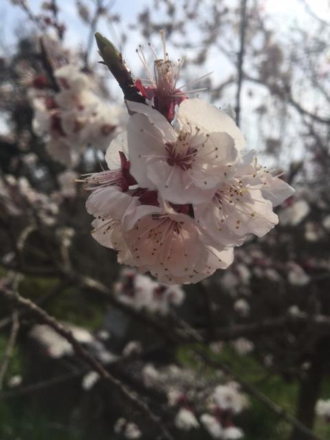 桜が舞い散ってます。身体は舞う準備をしてます。