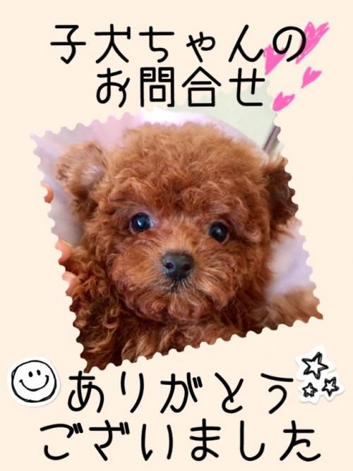 トイプードル子犬♪ブリーダー群馬高崎店