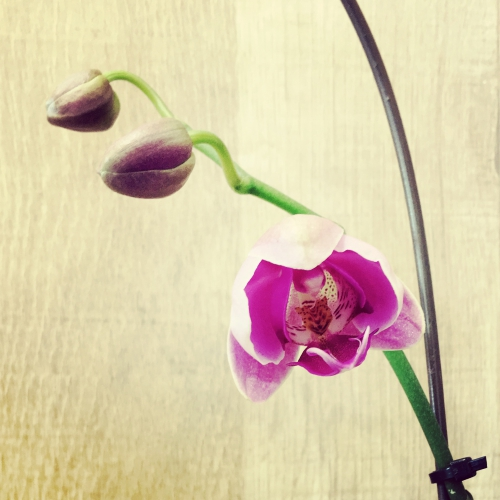 奇跡!綺麗な蘭が咲いた!調布美容院