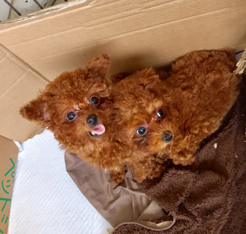 トイプードル♪子犬ブリーダー群馬高崎店