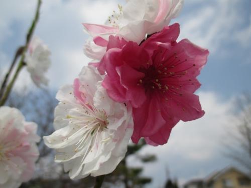 綺っ麗~な咲き分け!紅白の源平桃!植木・苗木販売!